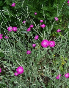 Lychnis Coroniara