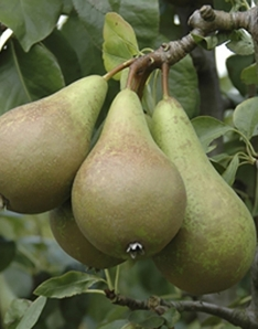 De Ree Pear 'Conference' Tree