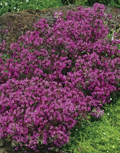 Thyme Creeping Red 9cm