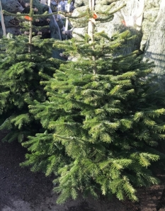 Nordmann Fir Tree 6ft mounted on a stable wooden block